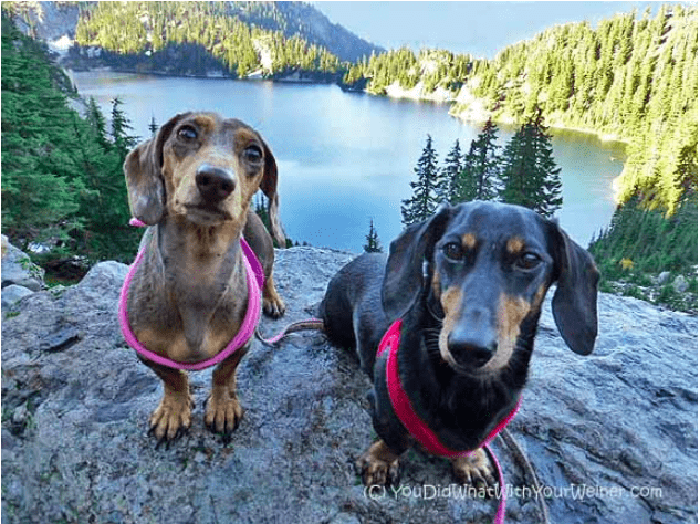 Gretel and Chester the dachshunds sitting on a rock with an alpine lake near Seattle, WA in the background