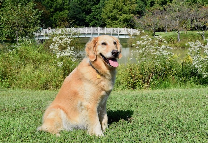 Honey the golden retriever loved Quiet Waters park (golden retriever sitting with bridge in background.)
