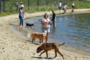 Honey and Pam love the dog beach at Quiet Waters park in pet-friendly Annapolis. (golden retriever and other dogs at dog beach.)