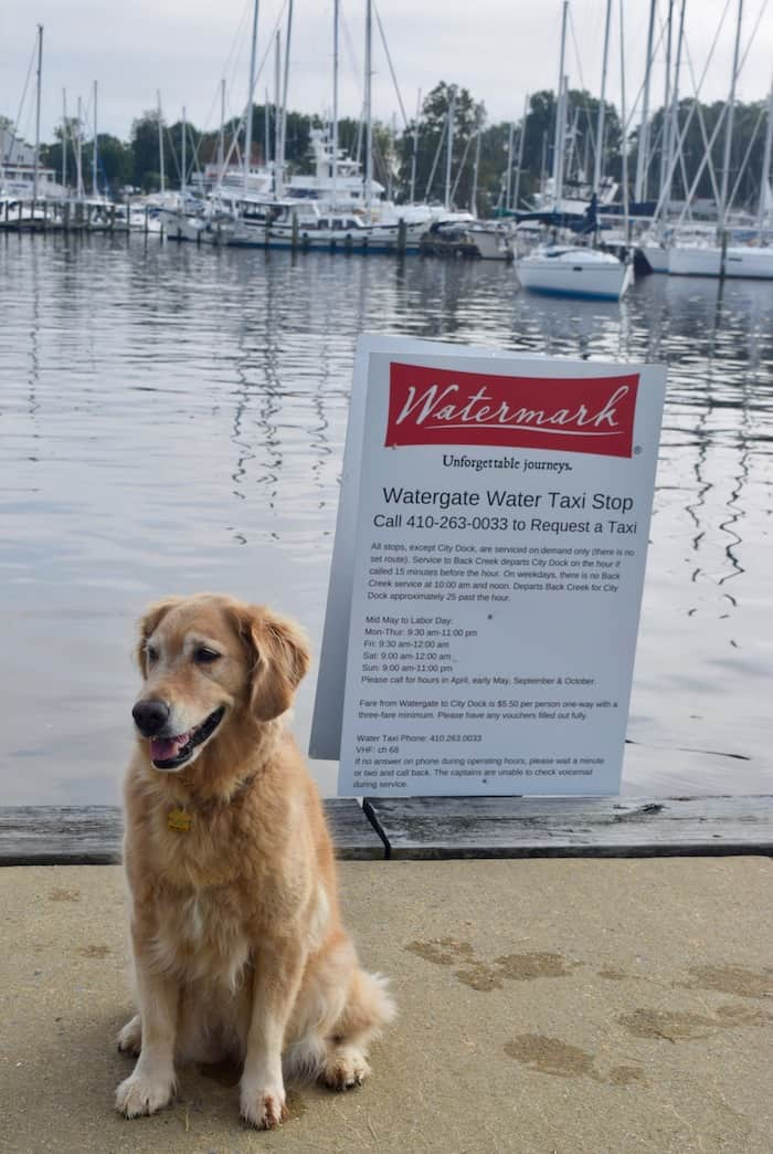 Honey the golden retriever waits for the water taxi (golden retriever in front of water taxi sign).
