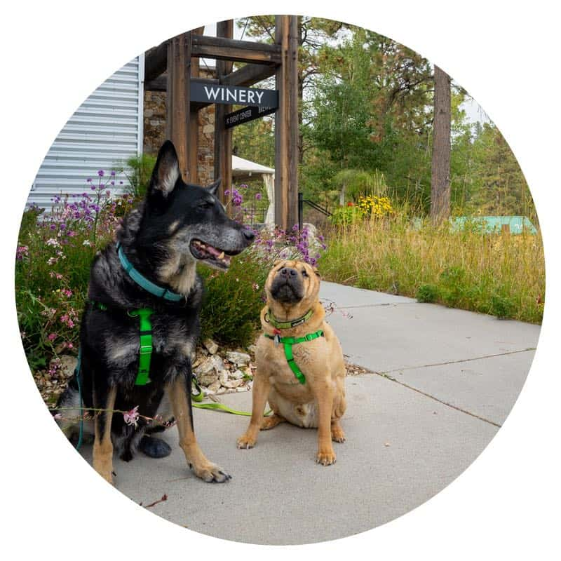 Buster and Ty, the GoPetFriendly.com dogs, sitting outside a pet-friendly winery