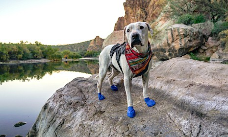 Cool Whip the dog on a pet-friendly hike in her blue booties and colorful bandana