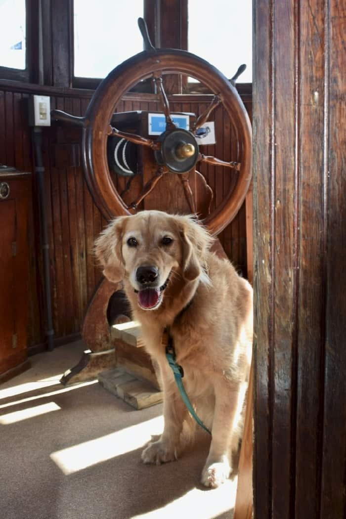 Maritime museums like one in St Michael's are often pet-friendly (golden retriever at wheel of wooden boat).