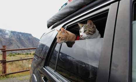 Two cats looking out the window of a car