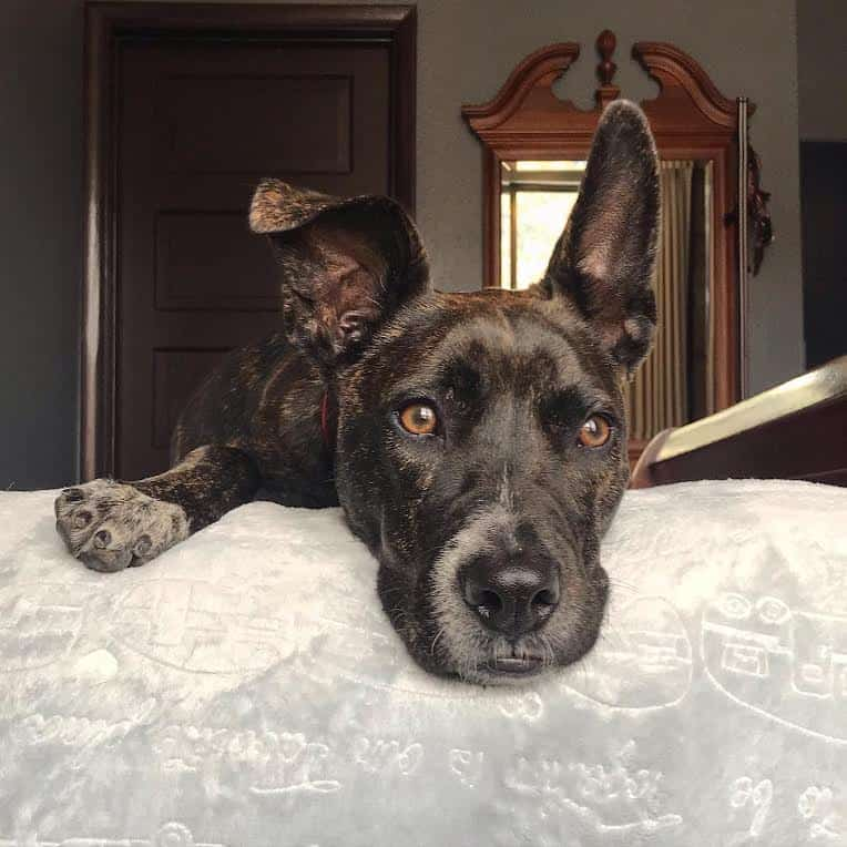 Brindle dog laying on a blanket on a bed