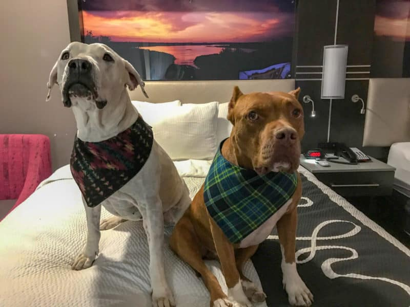 Cool Whip and Hercules, two pitbulls, sitting on the bed at a pet-friendly hotel