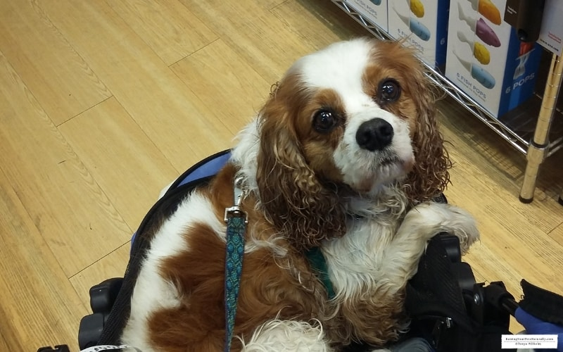 Dexter the Cocker Spaniel visiting the pet-friendly Fitger's Shopping Mall in Duluth, MN