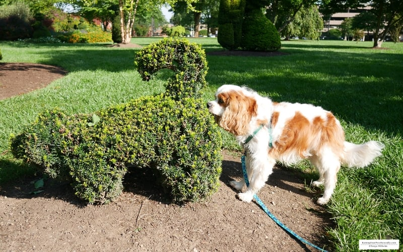Dexter the Cocker Spaniel sniffing a dog topiary at the Topiary Park in Columbus, OH