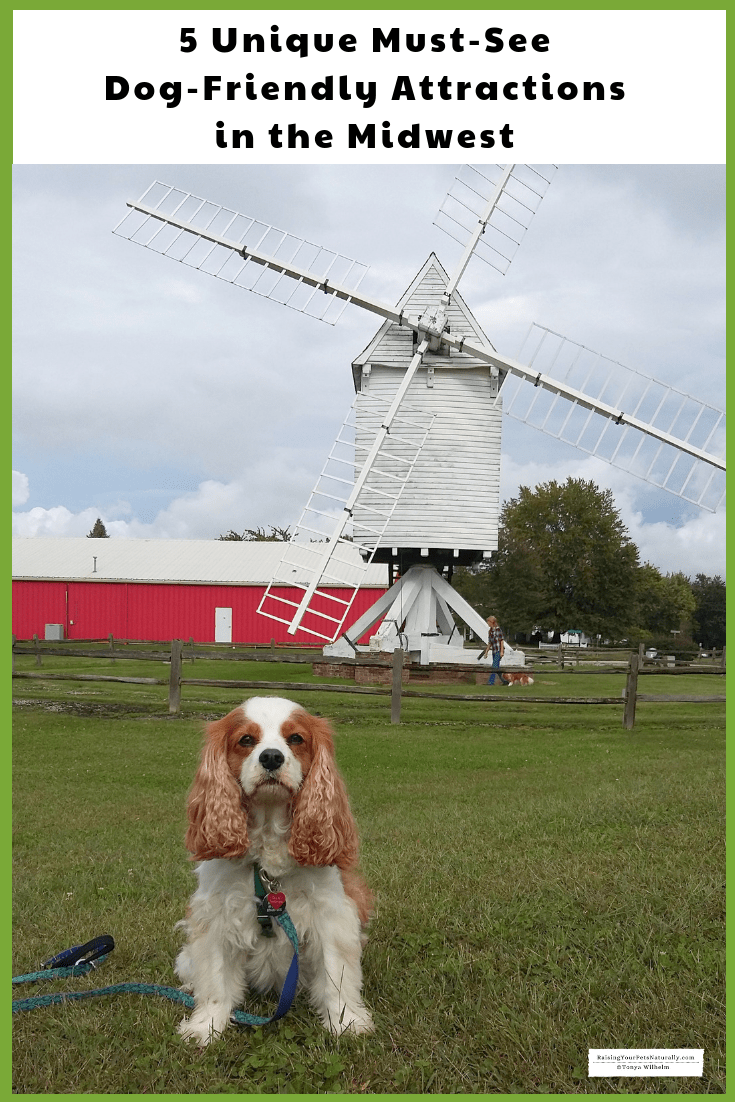 Dexter the Cocker Spaniel at the pet-friendly Mid-America Windmill Museum in Kendallville, IN