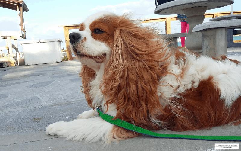 Dexter the Cocker Spaniel dog at pet friendly Shell Key Shuttle in St. Pete Beach, Florida