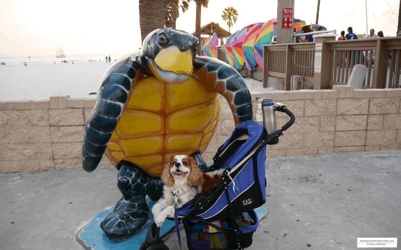 Dexter the Cocker Spaniel dog enjoying a pet friendly sunset at Pier 60 in Clearwater Beach, Florida