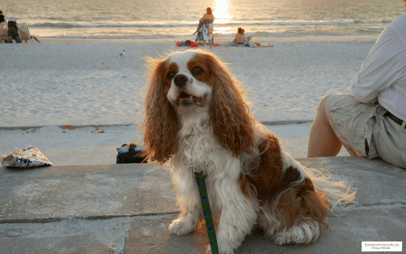 Dexter the Cocker Spaniel dog at pet friendly Paradise Grill at Pass-A-Grille, Florida