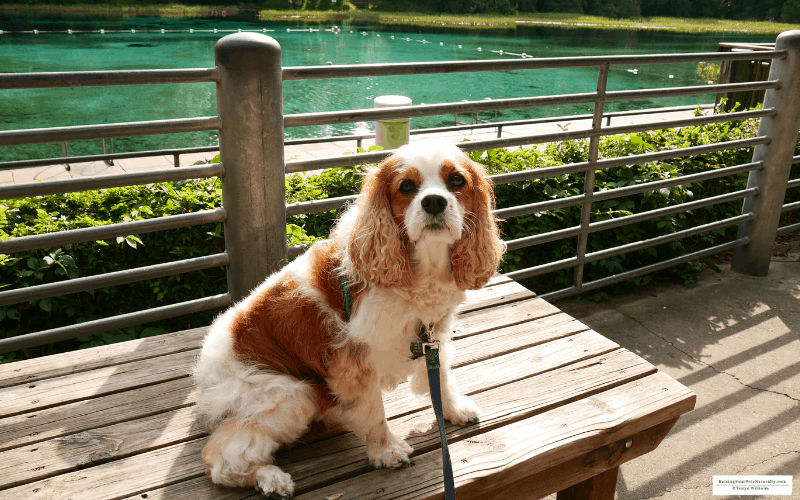 Dexter the Cocker Spaniel dog at pet friendly Rainbow Springs State Park in Dunnellon, Florida