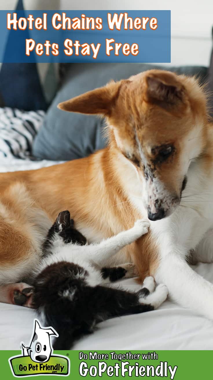 Black and white kitten with his paws on a golden dog's nose in a pet friendly hotel