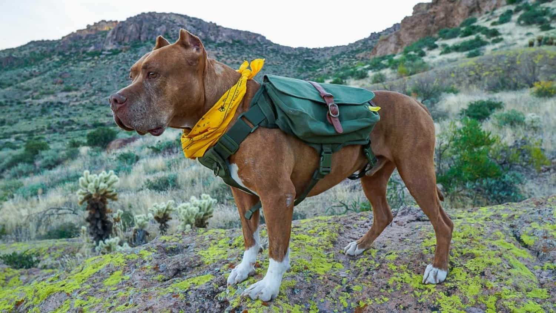 Dog wearing a green dog backpack and a yellow bandana