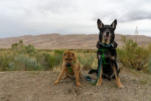 Ty and Buster, the GoPetFriendly.com dogs, posing at pet friendly Great Sand Dunes National Park