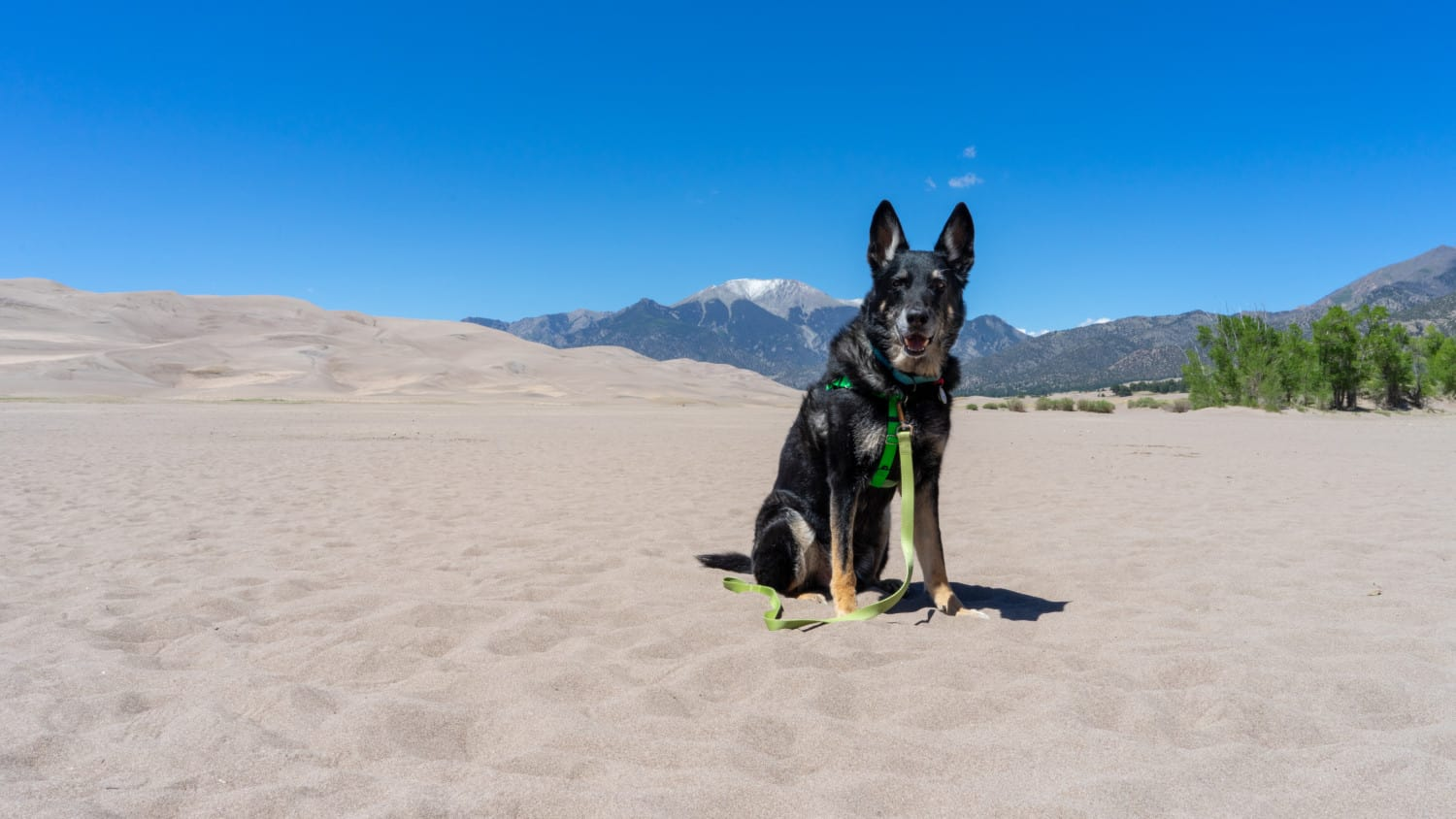 Buster the German Shepherd at pet friendly Great Sand Dunes National Park in Colorado