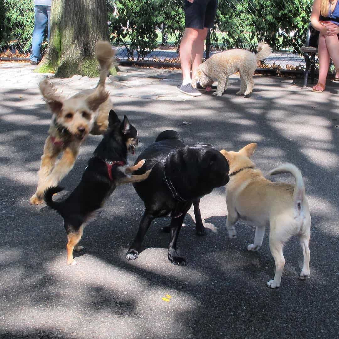 Boogie the Pug playing with other dogs at a dog park in New York City