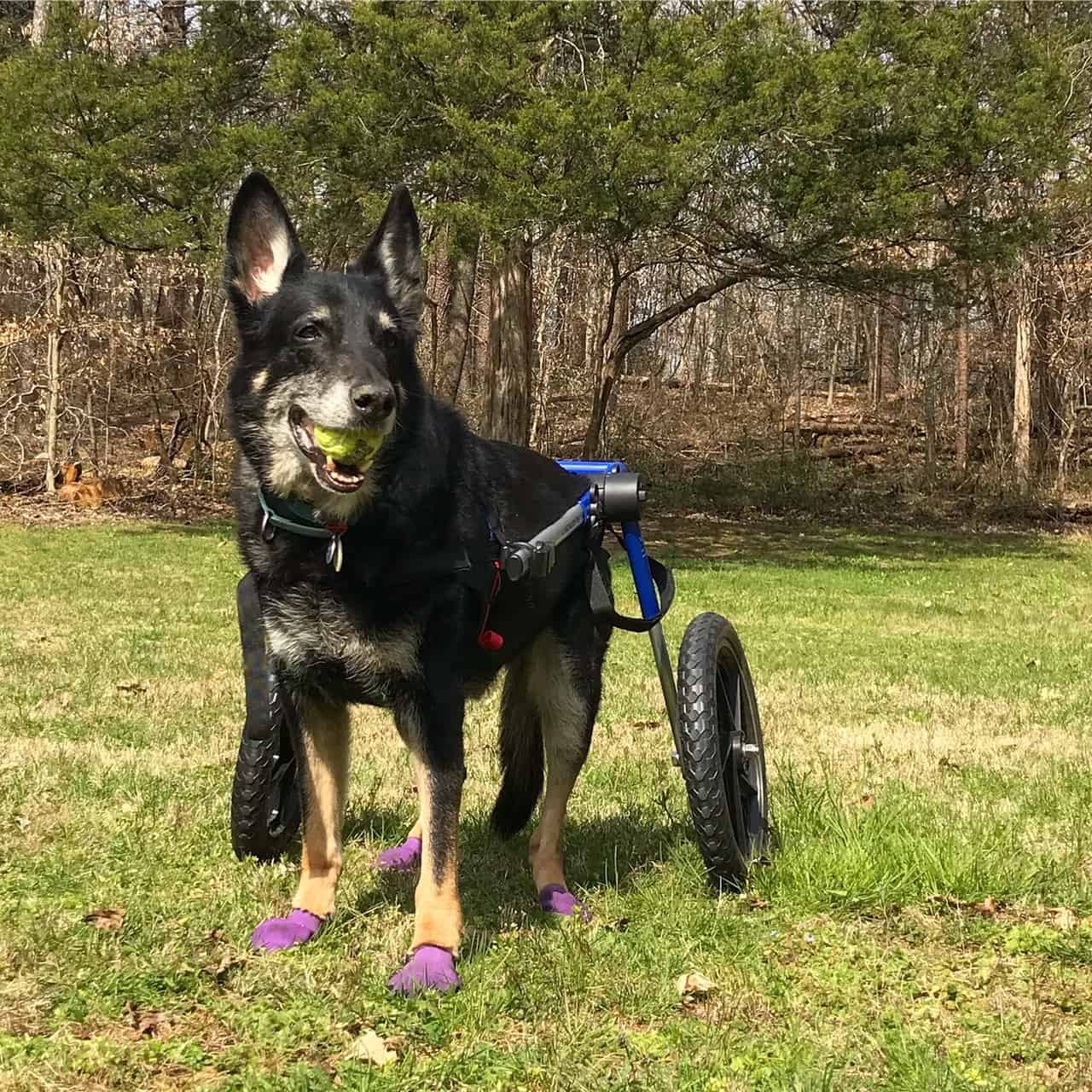 Buster the German Shepherd Dog in his wheelchair in the grass