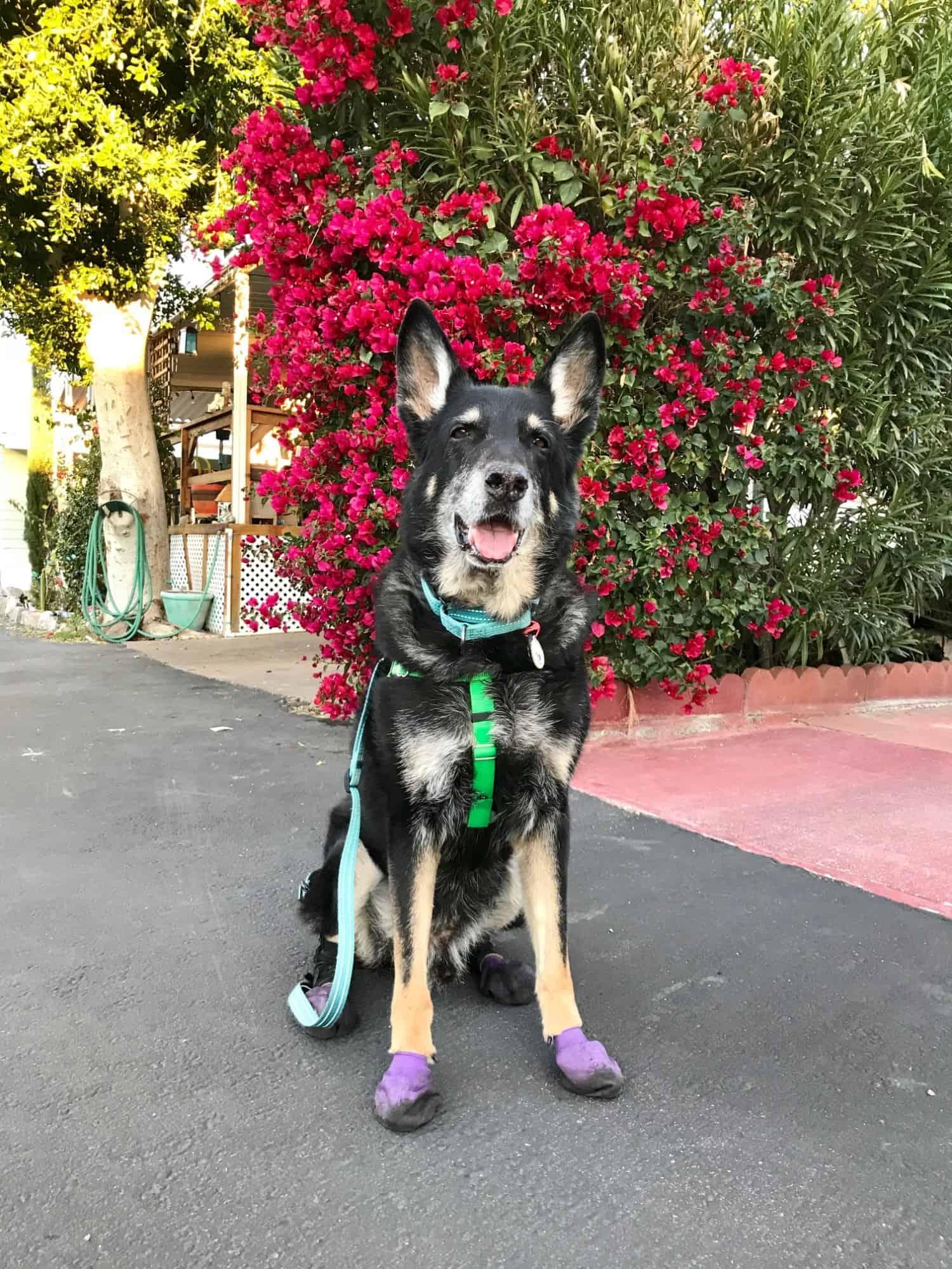 Buster the German Shepherd Dog walking in purple dog boots