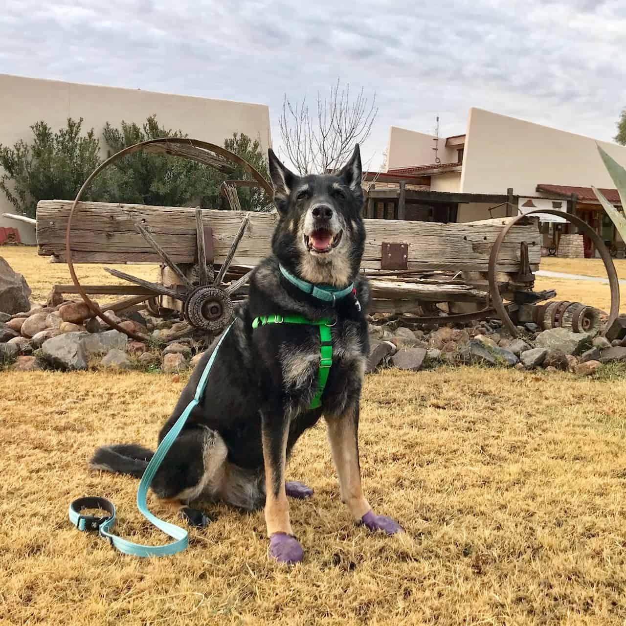 Buster the German Shepherd Dog wearing purple dog boots in Texas