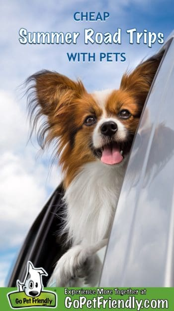 Papillion dog looking out the window of a car