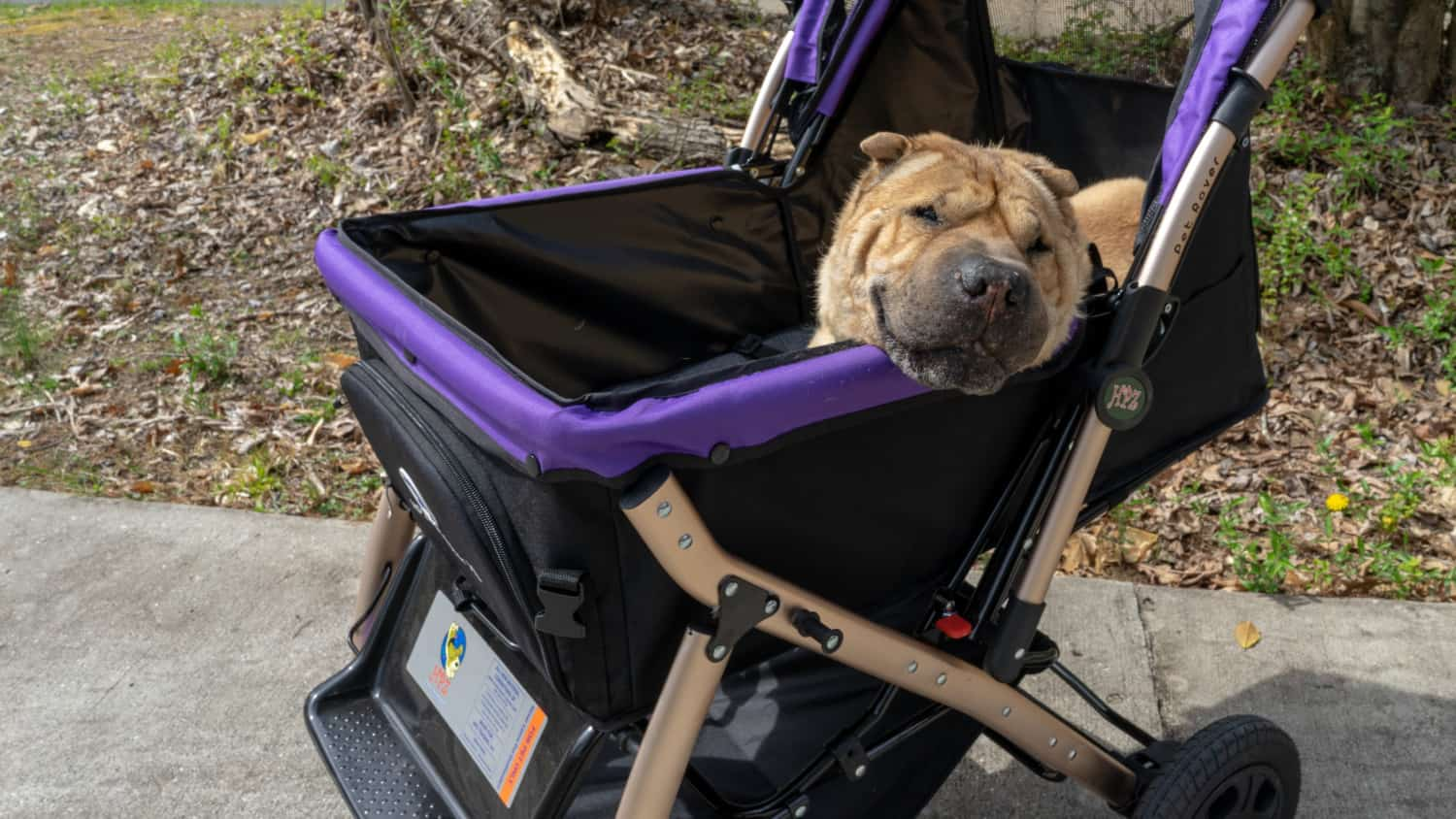 Ty the Shar-pei riding in the purple Pet Rover XL dog stroller
