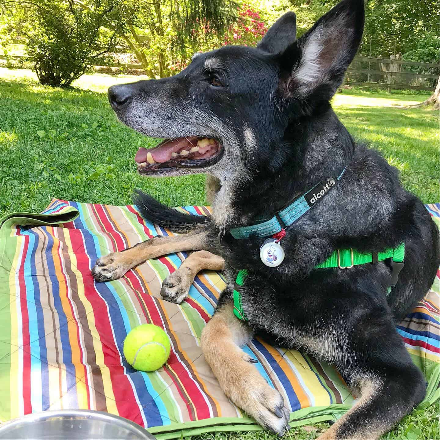 Buster the German Shepherd dog laying on a blanket with a squeaky ball