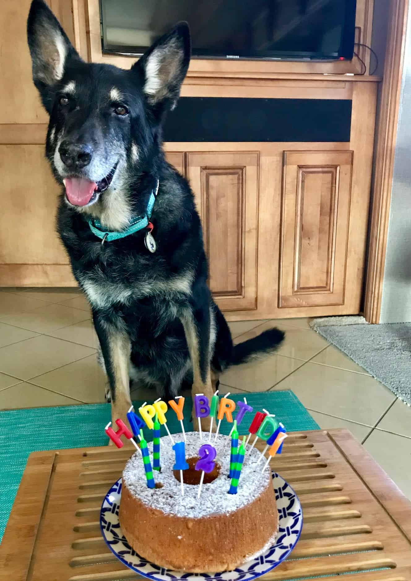 Buster the German Shepherd dog with a birthday cake on his 12th birthday