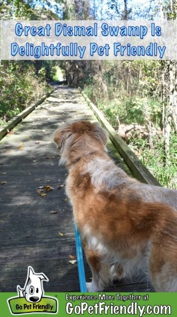 Honey the Golden Retriever dog on the boardwalk at the pet friendly Great Dismal Swamp
