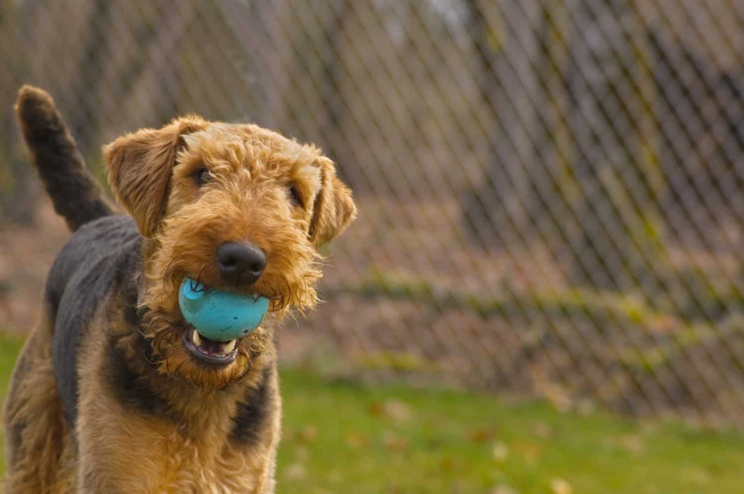 Airedale Terrier dog with ball in his mouth at a theme park kennel