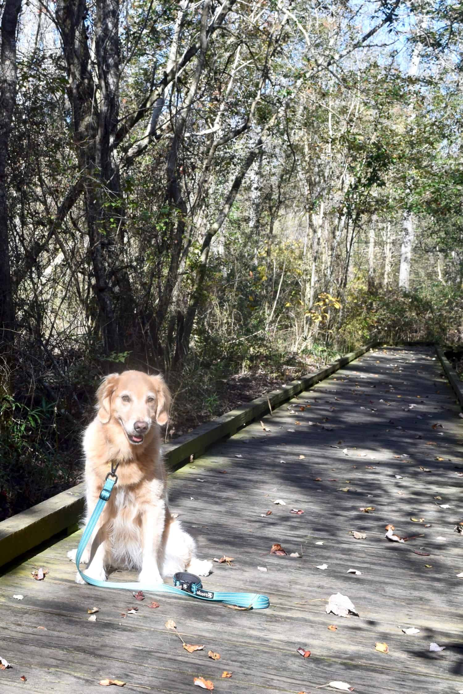 Honey the Golden Retriever dog on a pet friendly boardwalk trail in Great Dismal Swamp State Park