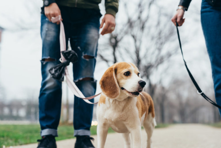 Young man on an urban hike with his beagle