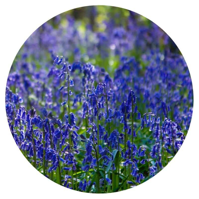 A field of delicate purple flowers along Route 66