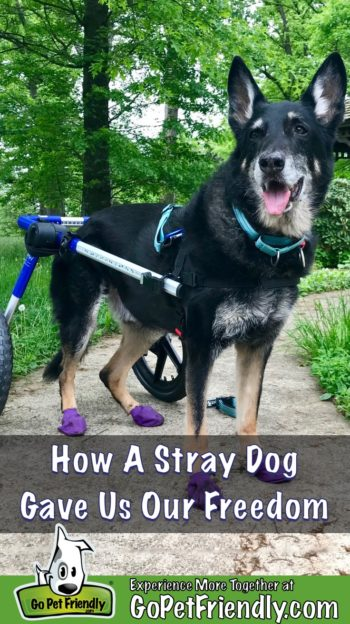 Buster, the GoPetFriendly.com German Shepherd Dog on a path in his dog wheel chair
