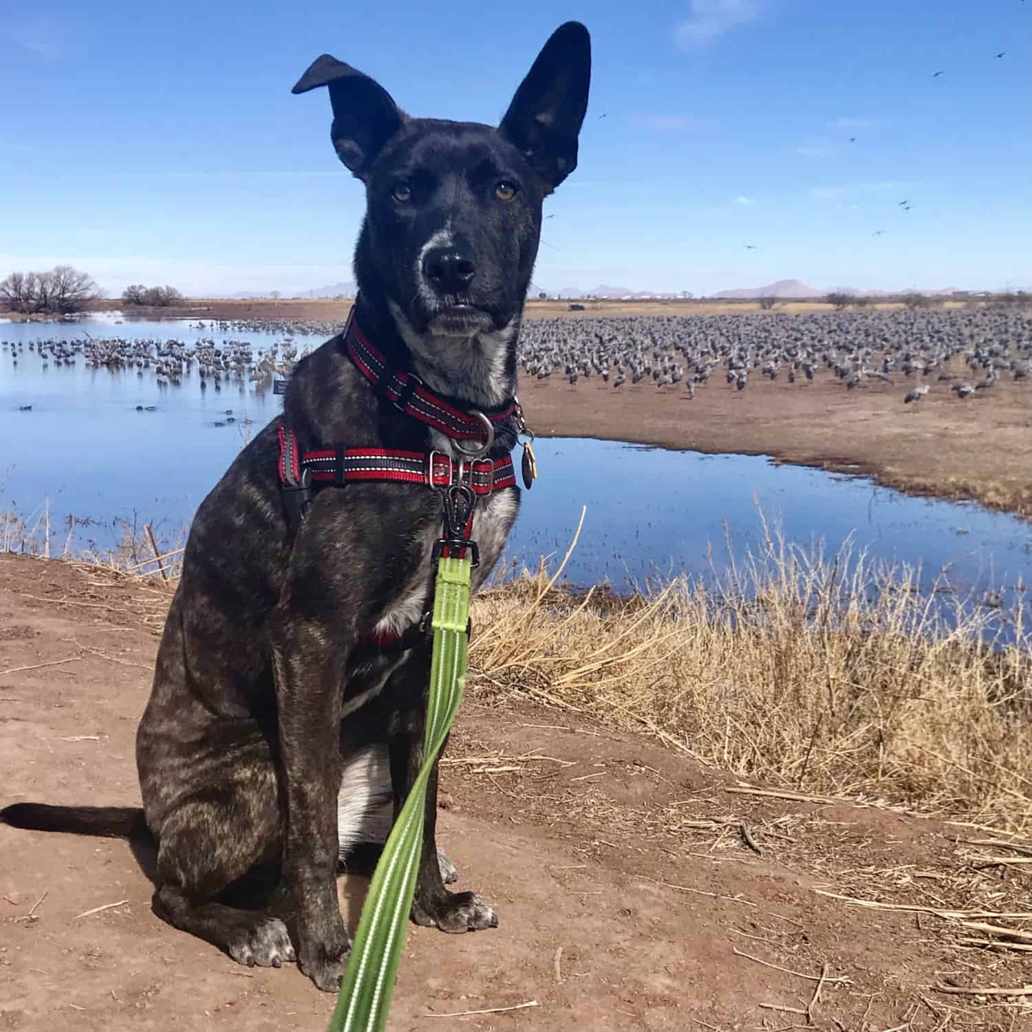 Brindle puppy sitting beside a lake with thousands of Sandhill Cranes