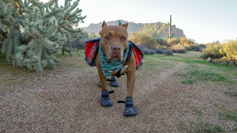 Dog in boots with a backpack on a camping trip