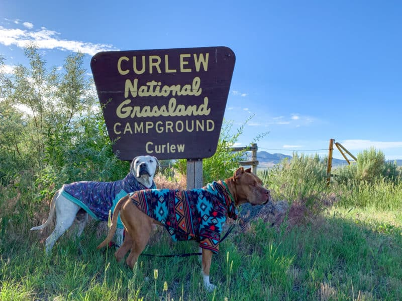 Two pitbull dogs on a camping trip to the Curlew National Grasslands