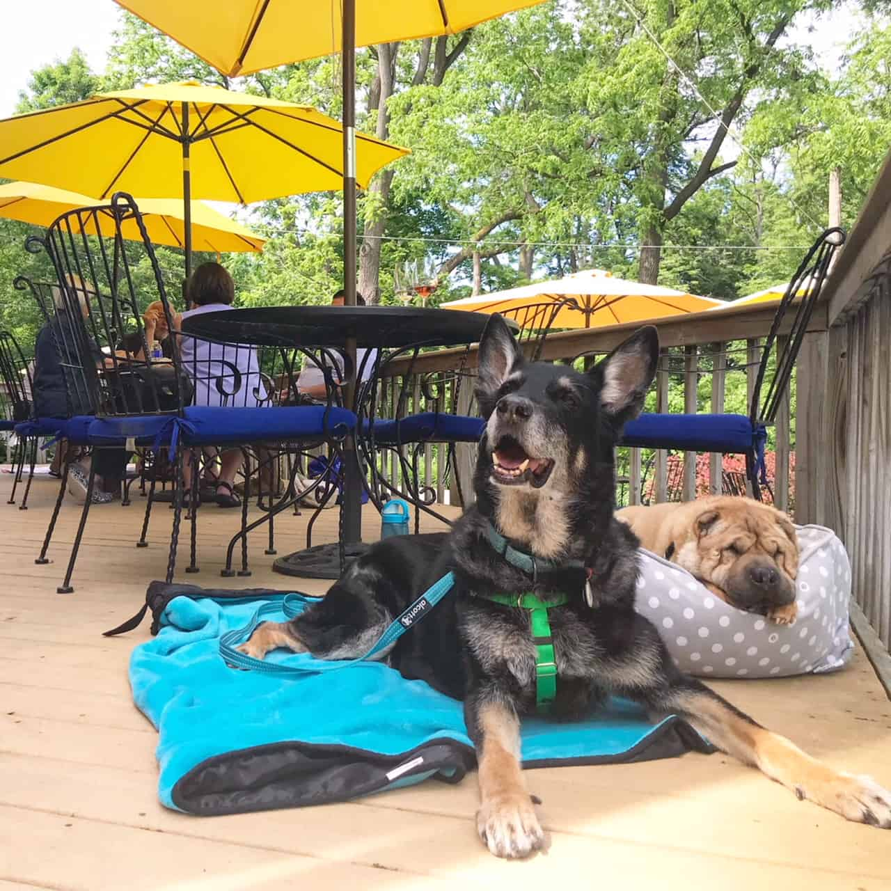 German Shepherd Dog and Shar-pei on the patio at a pet friendly winery in the Finger Lakes, NY