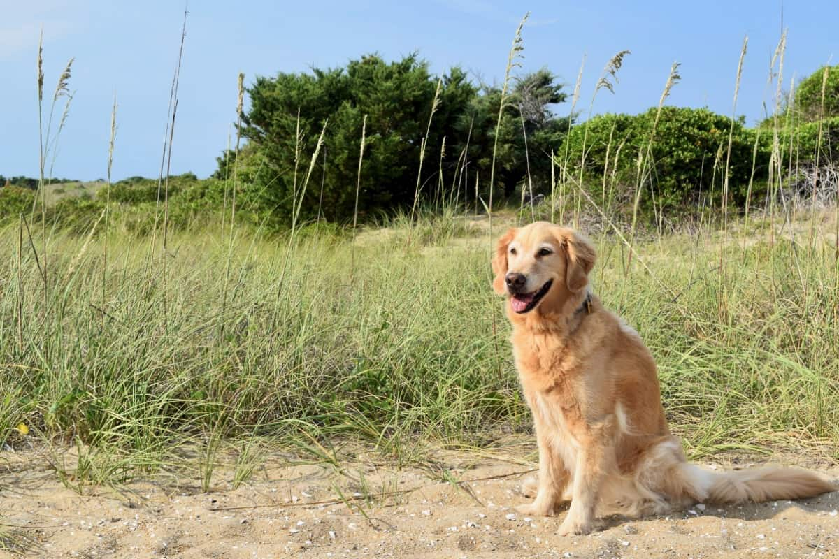 Golden retriever with dunes.
