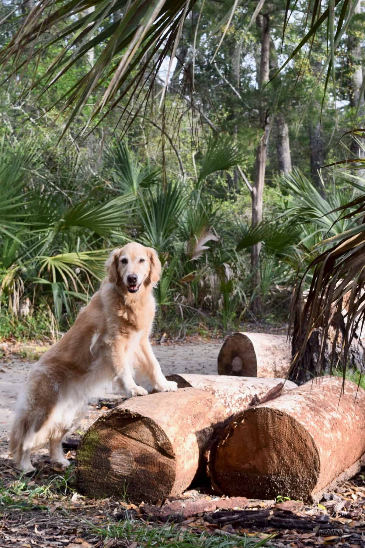 Golden retriever with saw palmetto.