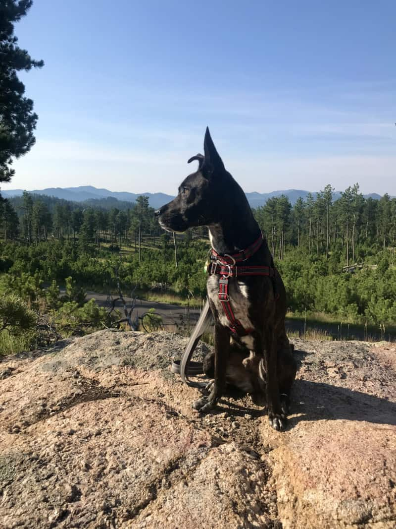 Brindle dog admiring the view in the Black Hills National Forest, South Dakota