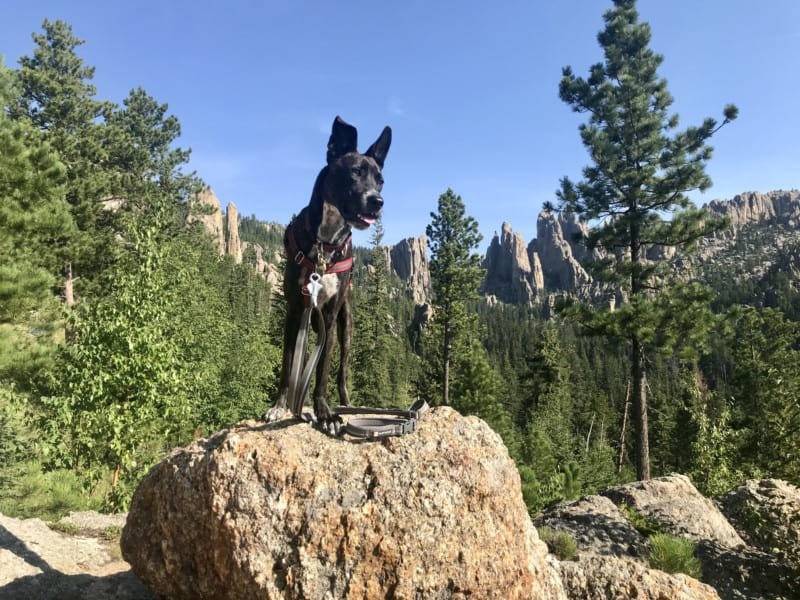 Brindle dog admiring the view on Needles Highway in pet friendly Custer State Park, SD