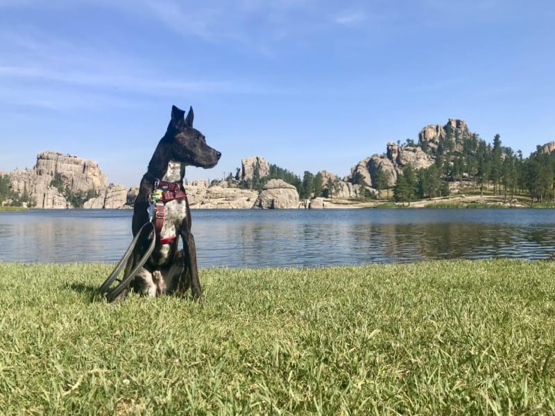 Brindle dog at Sylvan Lake in pet friendly Custer State Park in South Dakota