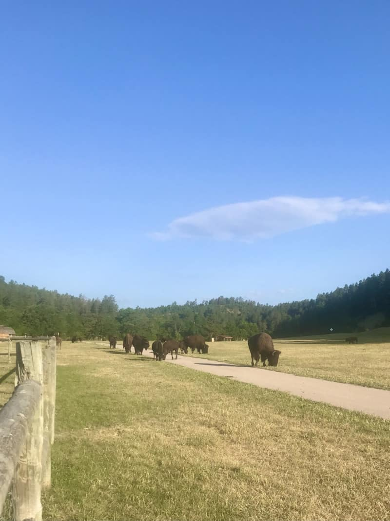 Bison grazing along Creekside Trail in Custer State Park, South Dakota