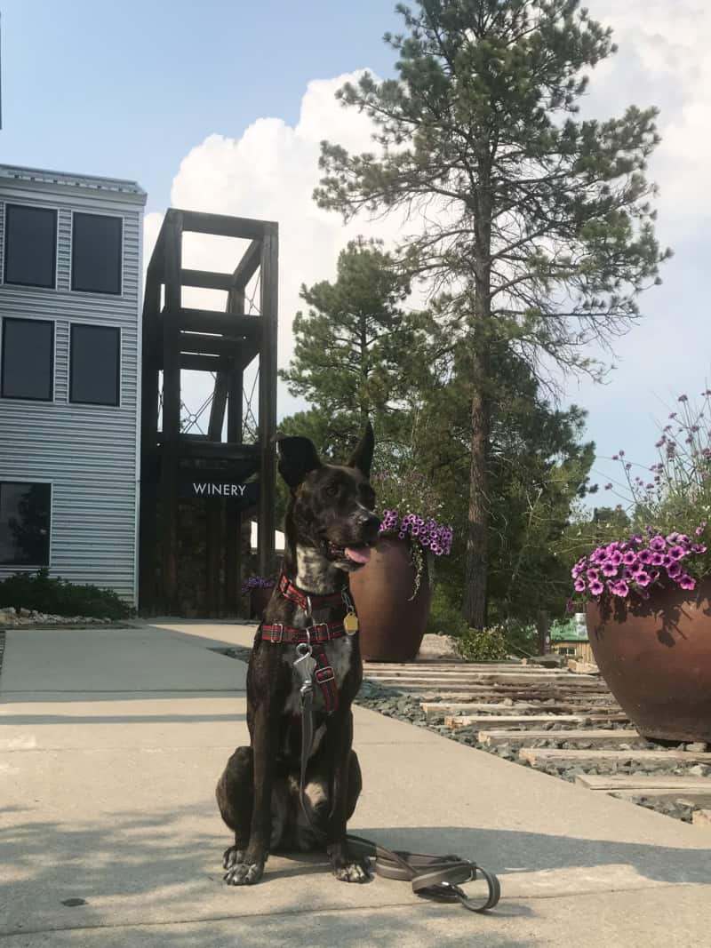 Brindle dog in front of pet friendly Prairie Berry Winery in Hill City, SD