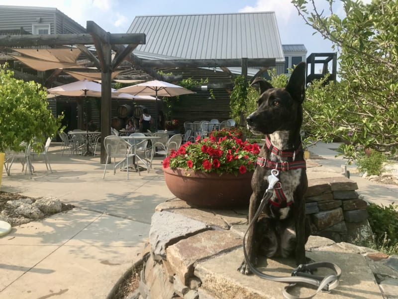 Brindle dog on the patio at pet friendly Prairie Berry Winery in Hill City, SD