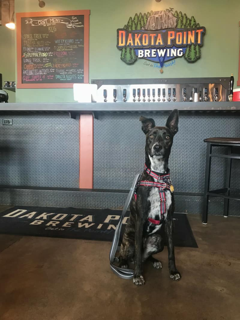 Brindle dog at the bar in pet friendly Dakota Point Brewing in Rapid City, SD
