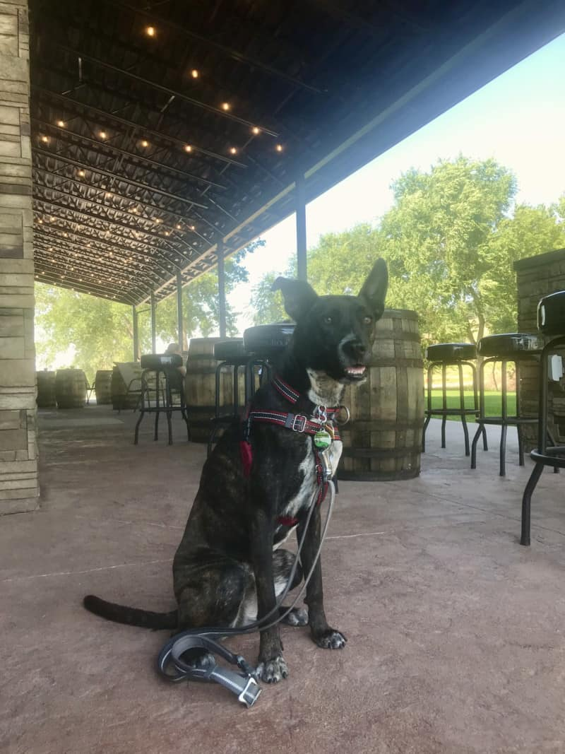 Brindle dog on the patio at pet friendly Sturgis Brewing Company in Sturgis, SD