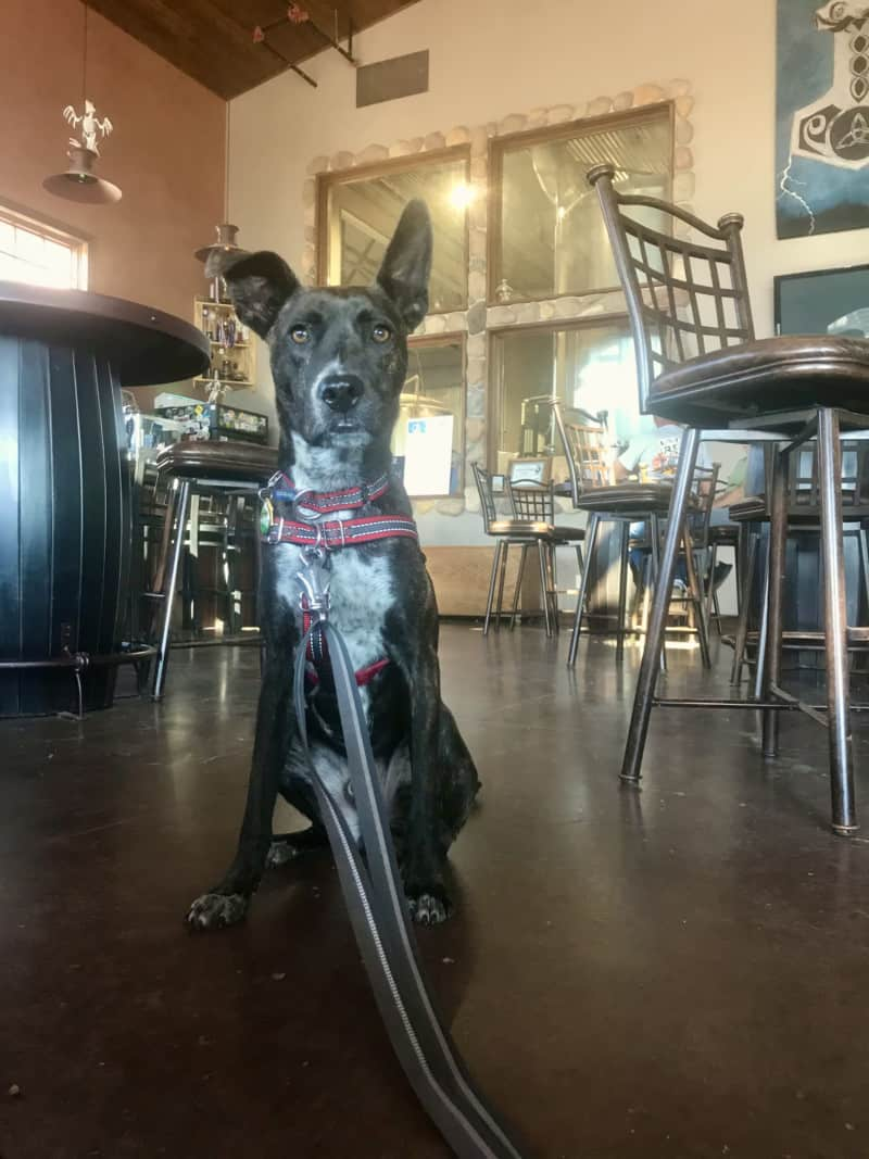 Brindle dog at Crow Peak Brewing Company in Spearfish, SD